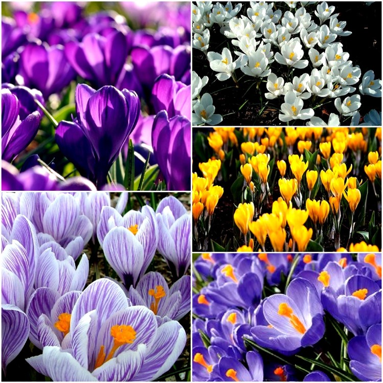 2bd93ee720ddd Mixed Crocus Available In The Green from End of January On wards ...